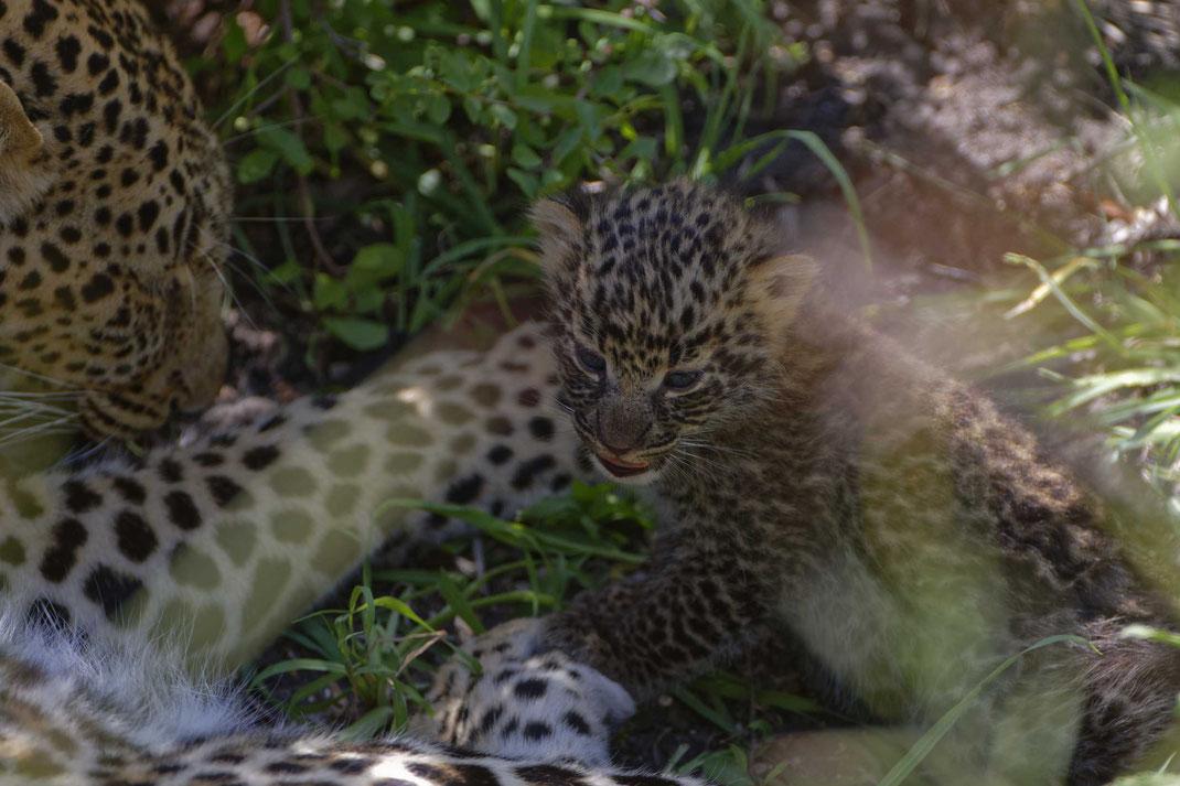 Leopard mit Baby Masai Mara, Kenia fotografiert Uwe Skrzypczak