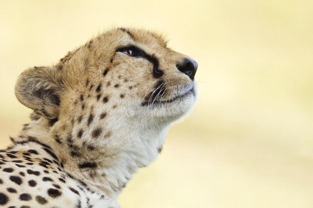 Geparden, Wildlife, Afrika, Cheetah, Safari, Uwe Skrzypczak