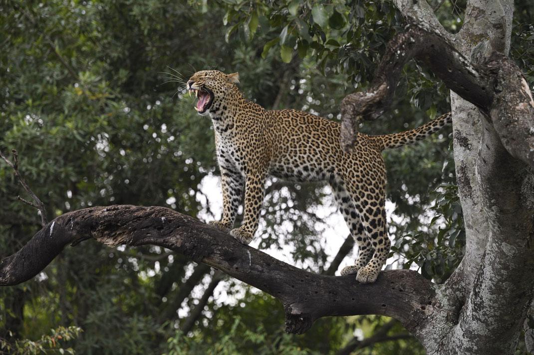 Leopard in der Masai Mara, Kenia fotografiert Uwe Skrzypczak