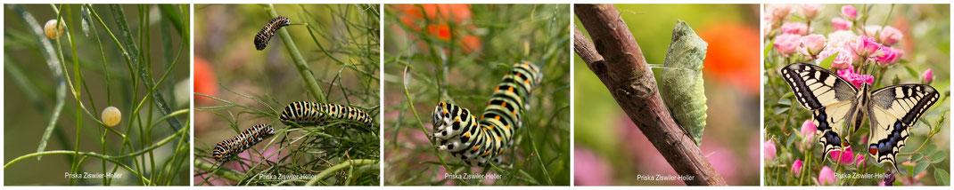 Schwalbenschwanz, Schmetterling, Papilio Machaon, Schwalbenschwanz Raupe, Schwalbenschwanz Puppe, Schwalbenschwanz Eier, Schwalbenschwanz Schmetterling, Veröuppung