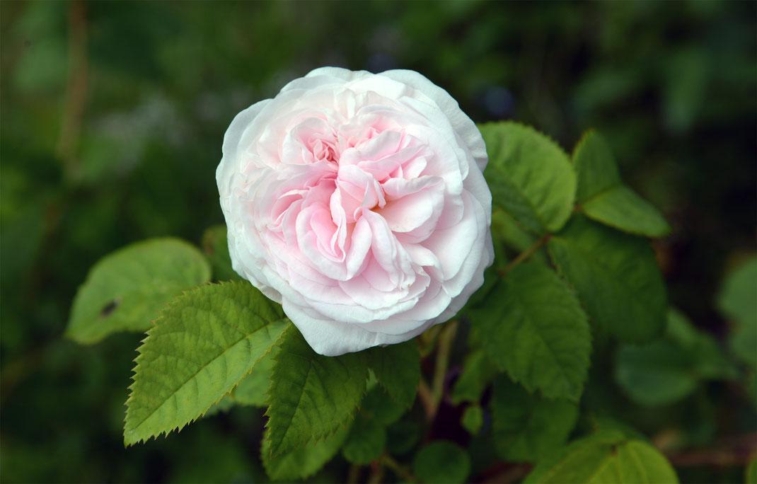 Eine der sieben Rosensorten, die in unserem Salz vom Sommer erzählen ...