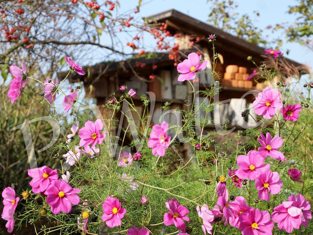 """24.10.2019 : eine der beiden """"Monster-Cosmeen"""", knapp zwei Meter hoch, bevor der Sturm sie hinlegte, wo sie aber fleißig weiterblüht ! An den Blüten erfreuen sich Hummeln, die Gelbbindigen Furchenbienen, Schwebfliegen usw."""
