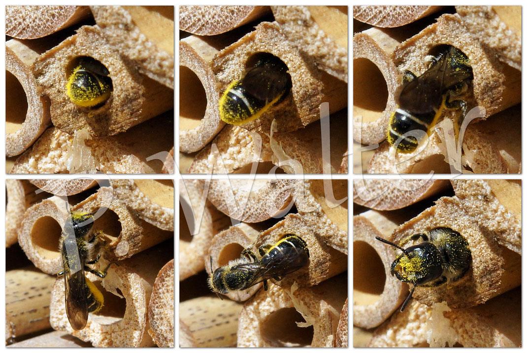 Bild: Hahnenfuß-Scherenbiene, Osmia florisomne, Bambusstängel