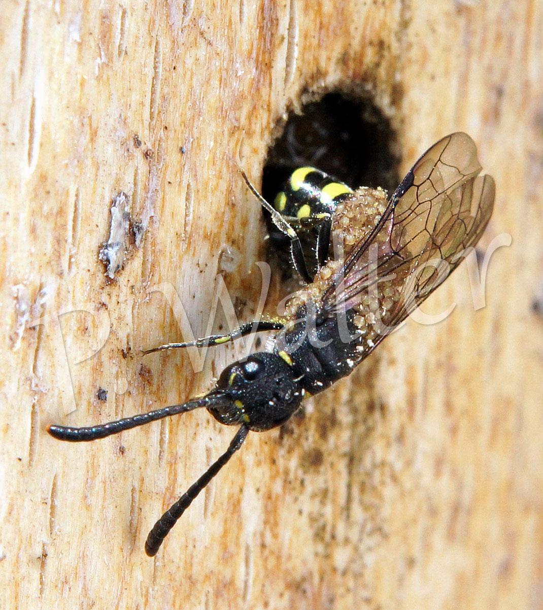 Hier eine Keulhornwespe, die über und über mit Milben befallen ist, was sie aber nicht hindert ihr Ei im Nistgang einer Hahnenfuß-Scherenbiene abzulegen