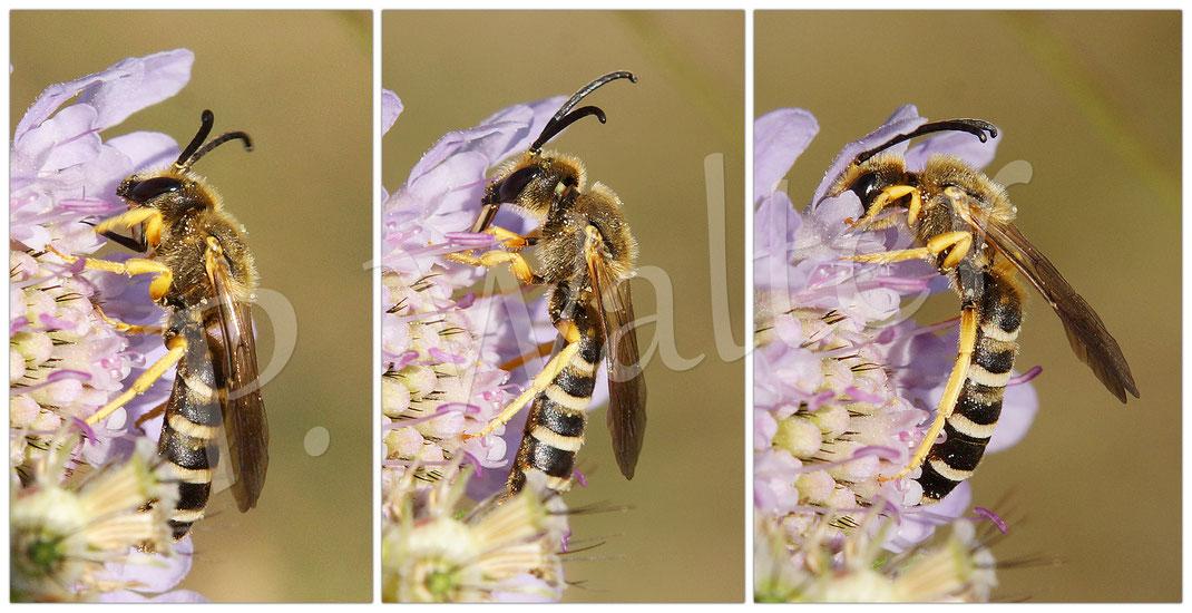 """Bild: Gelbbindige Furchenbiene, Halictus scabiosae, Männchen, """"ausgeklappte"""" Zunge, Nektar der Skabiosenblüte"""
