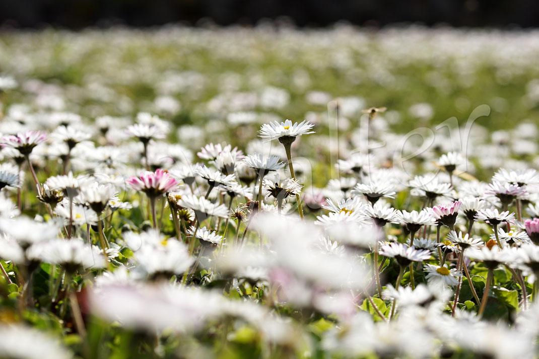 """28.03.2020 : unser """"Rasen"""" im März - bereits früh im März blühen Gänseblümchen unermüdlich und bieten eine Nahrungsquelle für viele Insekten. Eine Vielzahl an Wildbienen, insbesondere diverse Sandbienen, nutzen dieses üppige Angebot sehr gerne ..."""