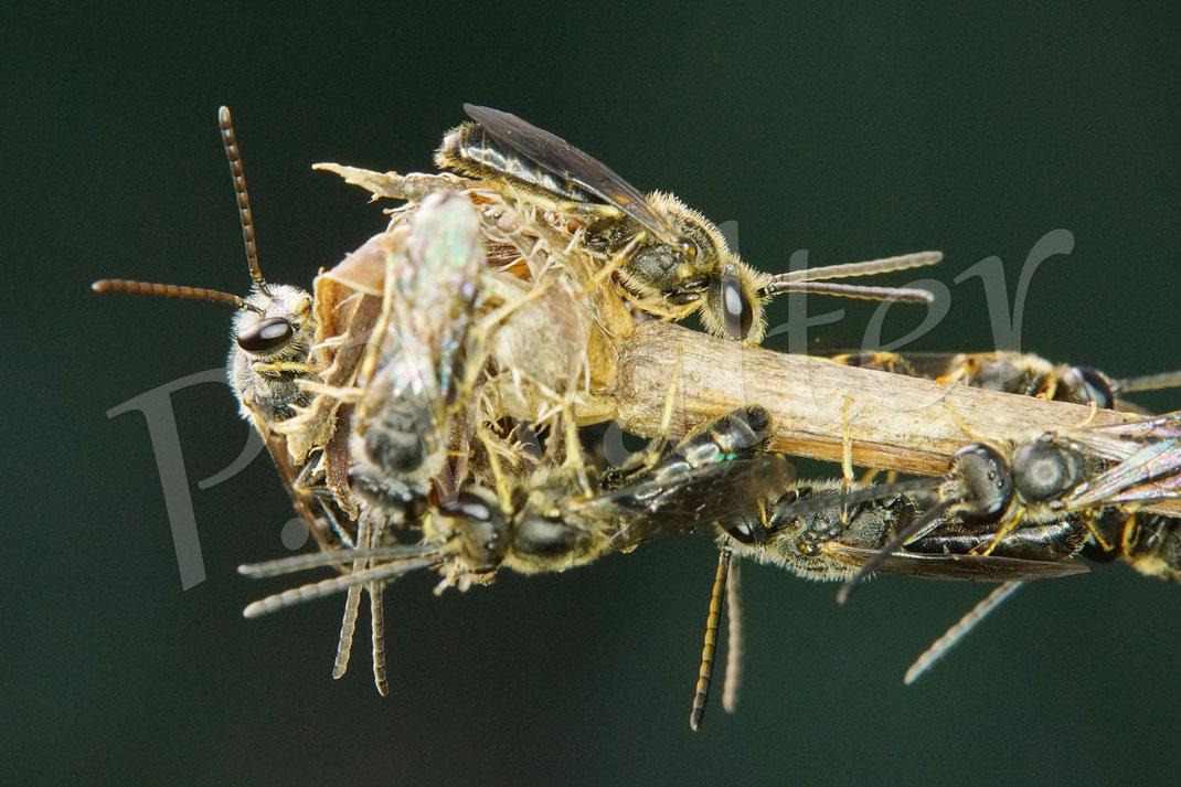 06.08.2020 : der Schmalbienen-Schlafhaufen (Lasioglossum spec., wohl alles Männchen) morgens um 7 Uhr, manche sind schon aktiv, andere sind noch an dem trockenen Wegwartenstengel festgebissen