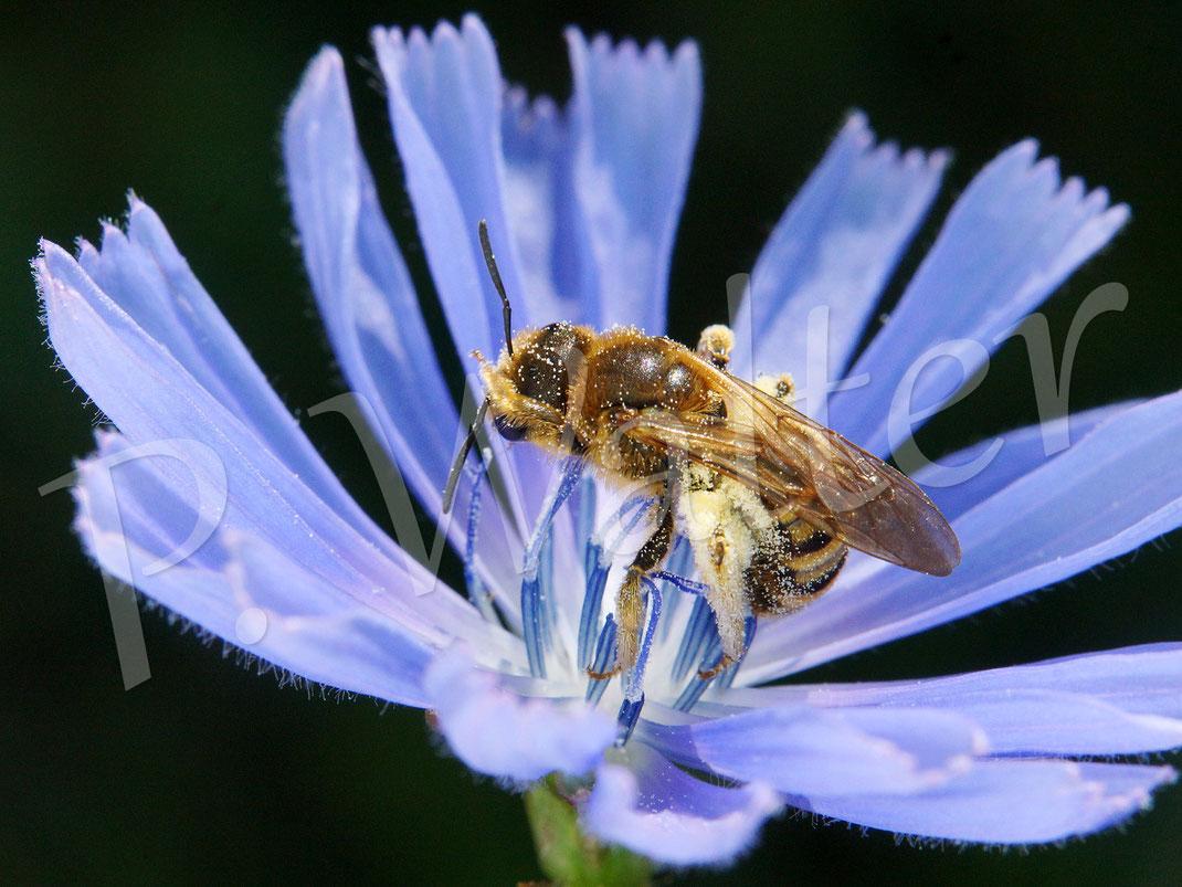 """Bild: Weibchen der Gelbbindigen Furchenbiene, Halictus scabiosae, bei der """"Katzenwäsche"""" auf einer Wegwartenblüte"""