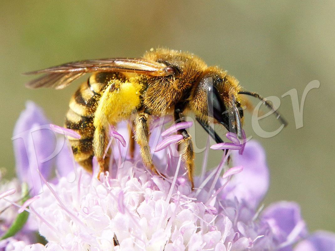 Bild: Gelbbindige Furchenbiene, Halictus scabiosae, ein Weibchen trinkt Nektar der Skabiose