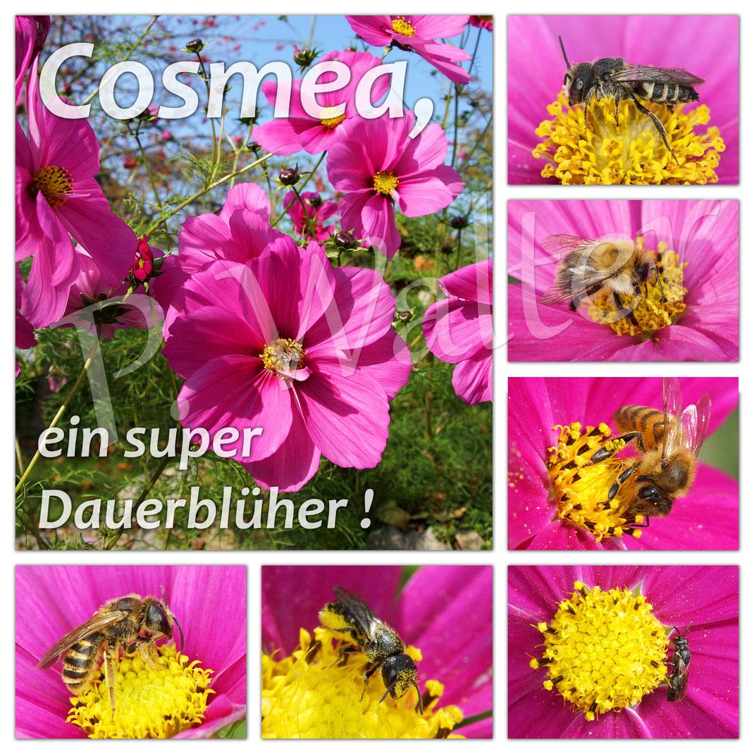 ... eine kleine Übersicht von Besuchern auf Cosmeenblüten ...