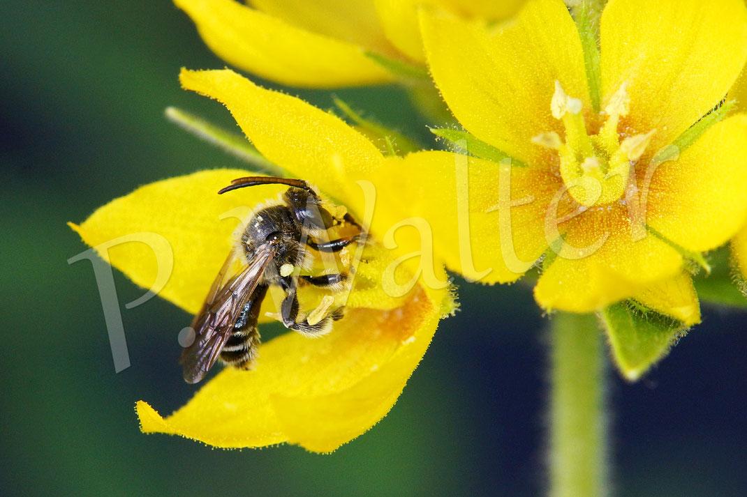Bild: Männchen der Wald-Schenkelbiene, Macropis fulvipes, am Gilbweiderich