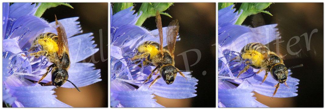 Bild: ein Weibchen der Gelbbindigen Furchenbiene, Halictus scabiosae, verlässt die Wegwartenblüte