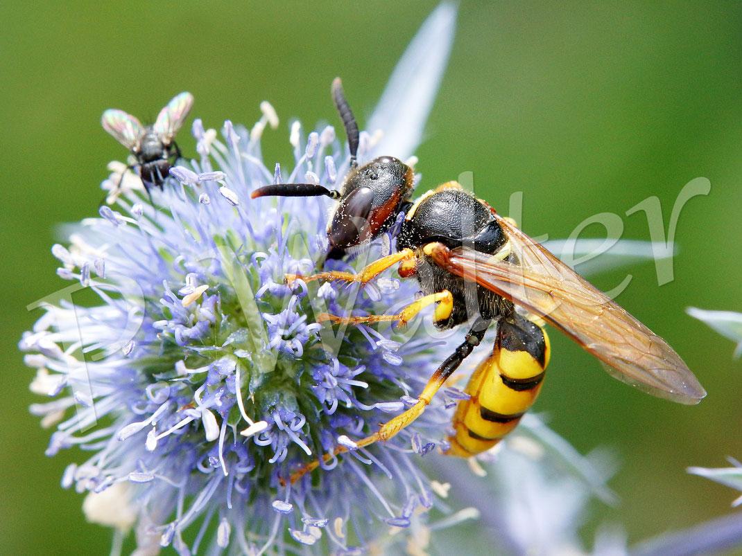 26.07.2017 : ein weiblicher Bienenwolf an der Kugeldistel, sie ist ein gutes Stück größer als die Männchen