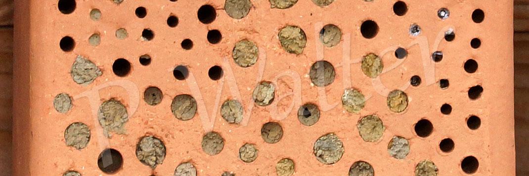 02.02.2019 : die Mauerbienen (die Rostrote, für die Gehörnte kam der Stein zu spät) haben den Niststein sehr gut angenommen. Deren Lochgröße ist zu mehr als 80% ausgebucht. Oben rechts kann man zwei Nistverschlüsse von Maskenbienen erkennen.