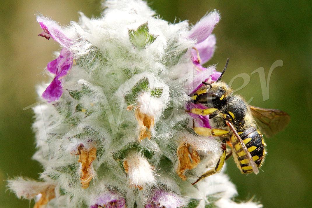 Bild: ein Wollbienen-Weibchen, Anthidium manicatum, trinkt Nektar an den letzten Blüten des Byzantinischen Woll-Ziests