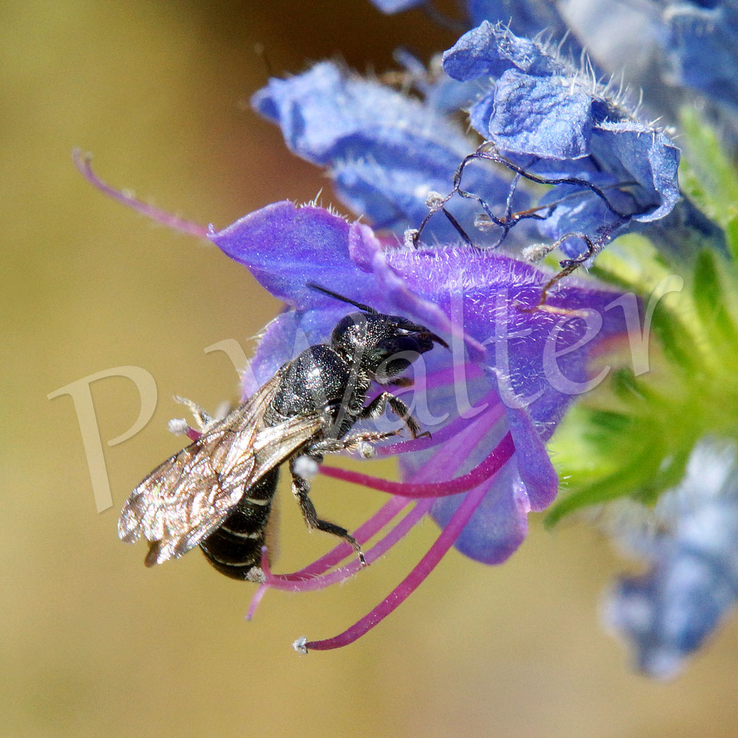 Bild: wohl ein ein Weibchen der Natternkopf-Mauerbiene, Osmia adunca, am Natternkopf
