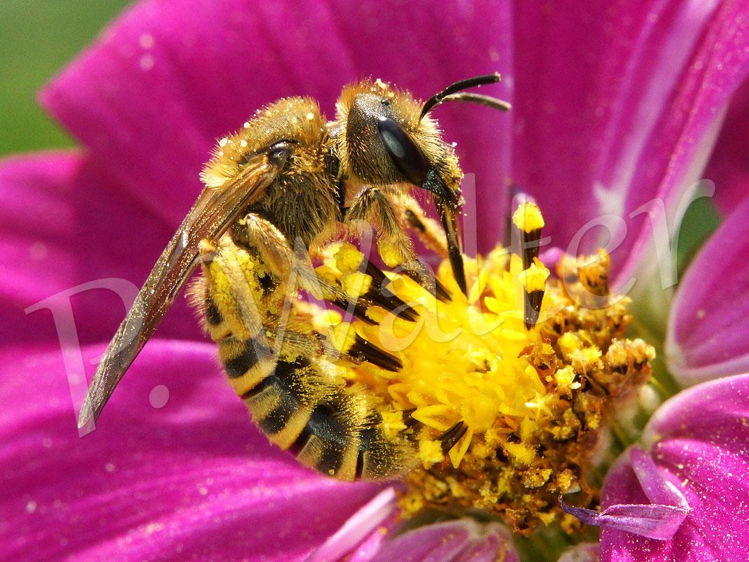 Bild: Weibchen, Gelbbindige Furchenbiene, Halictus scabiosae, an einer Cosmee
