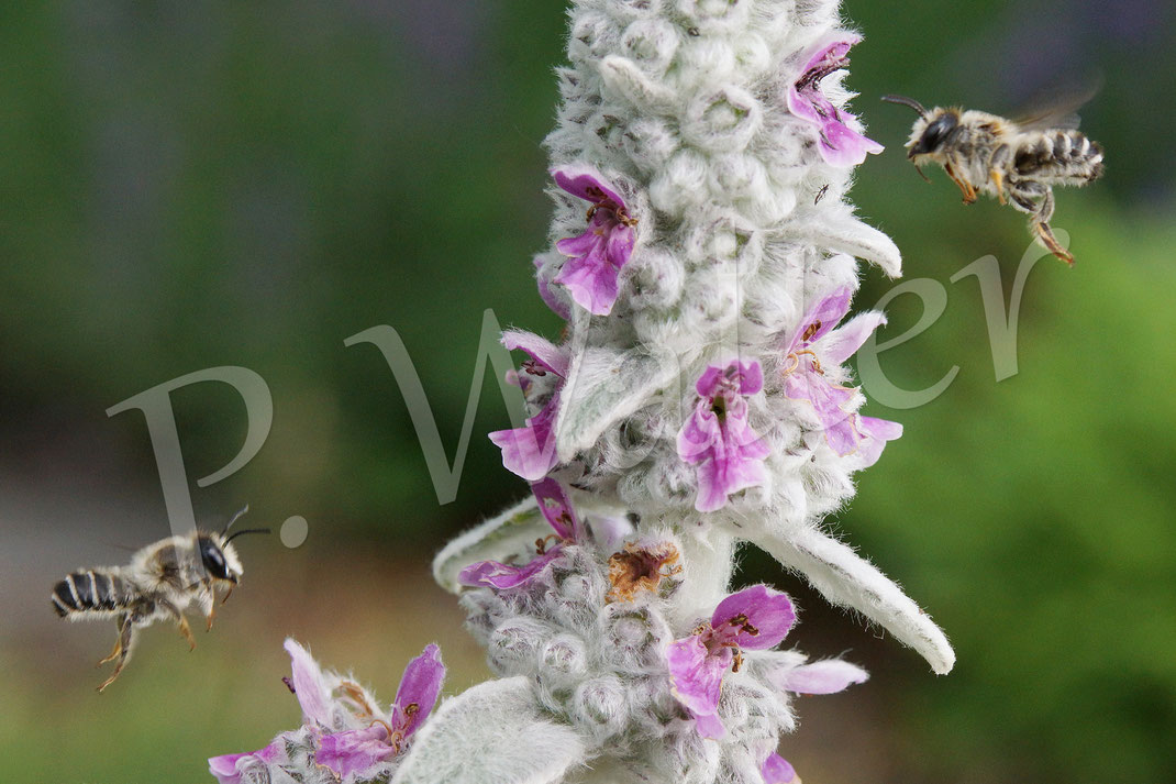 Bild: Blattschneiderbiene, Megachile, Woll-Ziest
