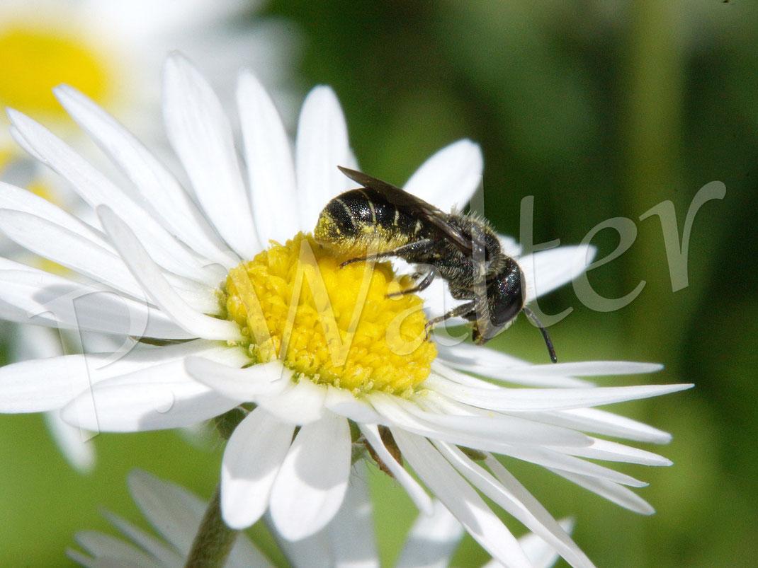 17.07.2017 : im Hochsommer befliegen die Löcherbienen Korbblüter wie hier ein Gänseblümchen