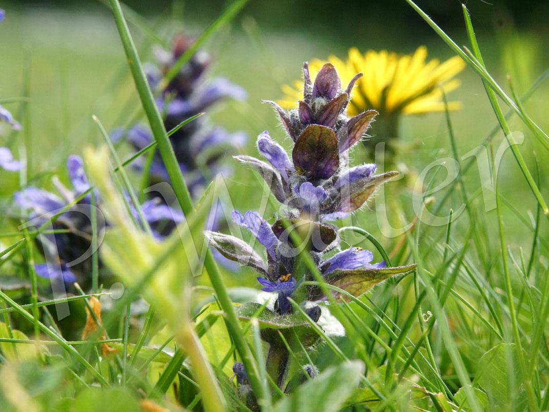 29.04.2018 : vor Jahren in den Rasen gepflanzt, der Kriechende Günsel, sehr beliebt bei den Hummeln
