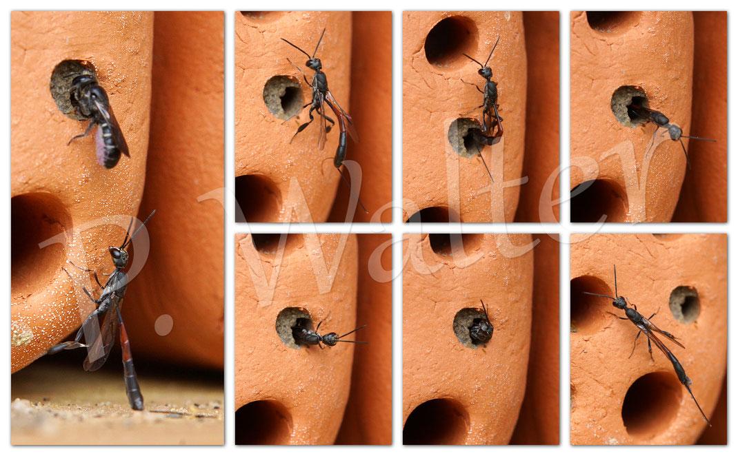 Bild: Schmalbauchwespe, bzw. Gichtwespe, Gasteruption assectator, Eiablage in einem Nistgang der Glockenblumen-Scherenbiene