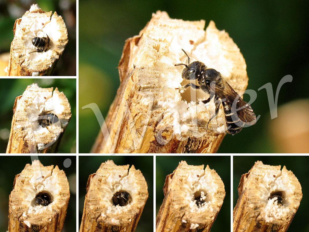 08.07.2013 : wahrscheinlich eine Schwarzspornige Stengel-Mauerbiene beim Graben ihres Nistgangs im markhaltigen Stengel
