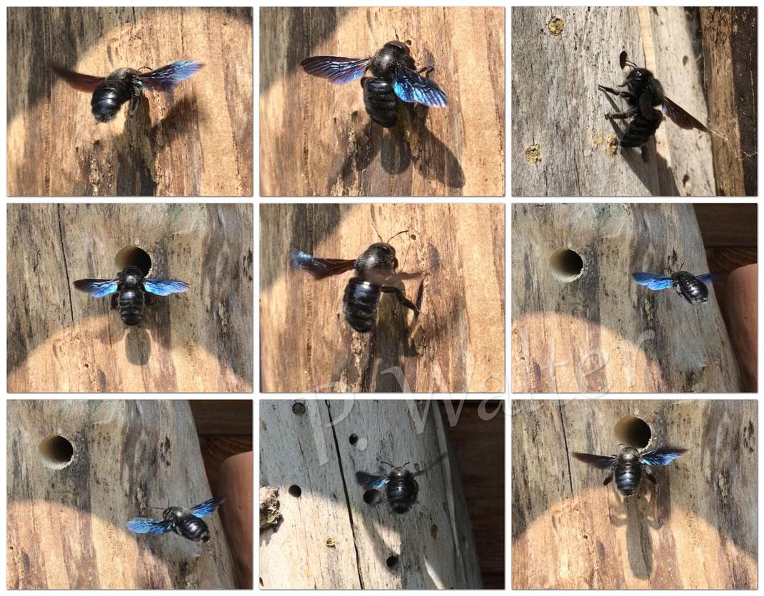 Bild: Blauschwarze Holzbiene, Xylocopa violacea, im Flug um das Holz herum, Totholz, Bohrloch