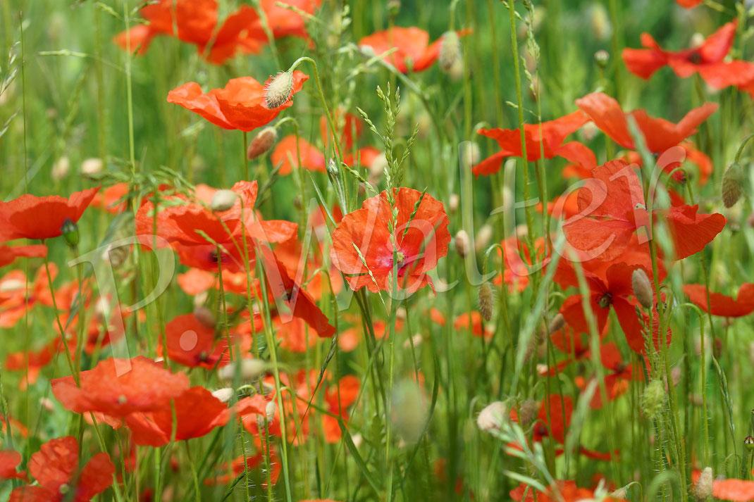 29.05.2017 : eine ungemähte Stelle im Rasen, wo Mohn gewachsen ist