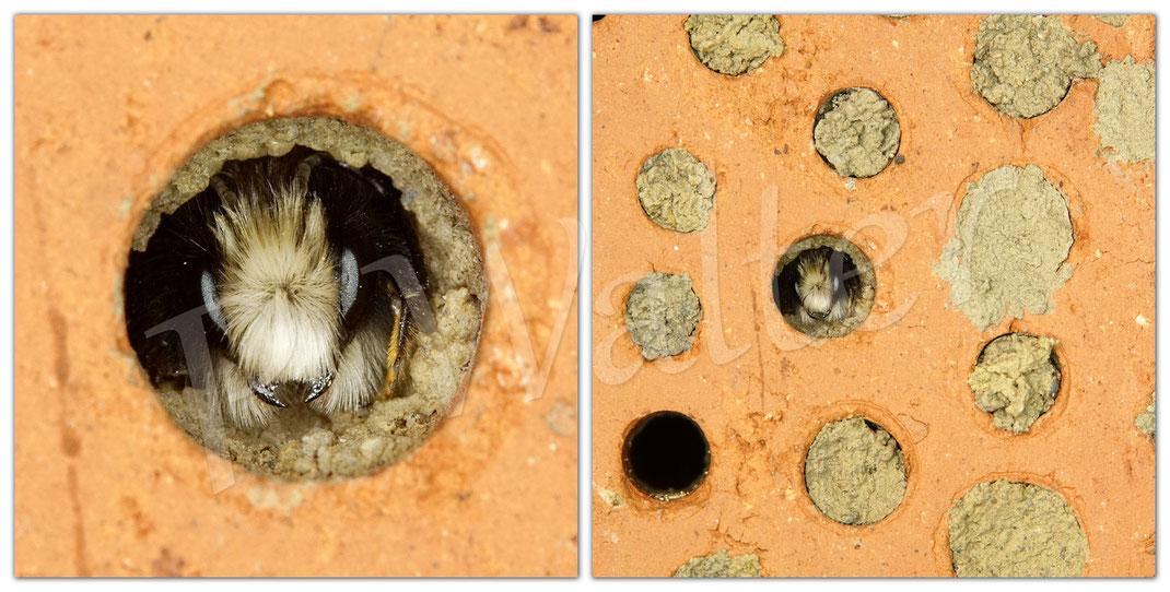 Bild: Männchen der Gehörnten Mauerbiene, Osmia cornuta, wegen Regen und Sturm bleiben sie lieber im Nistgang, die ersten Exemplare schlüpften bereits Ende Januar !