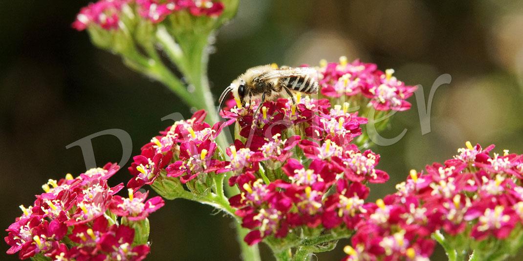 Bild: Seidenbienenmännchen, Colletes spec., an der roten Schafgarbe