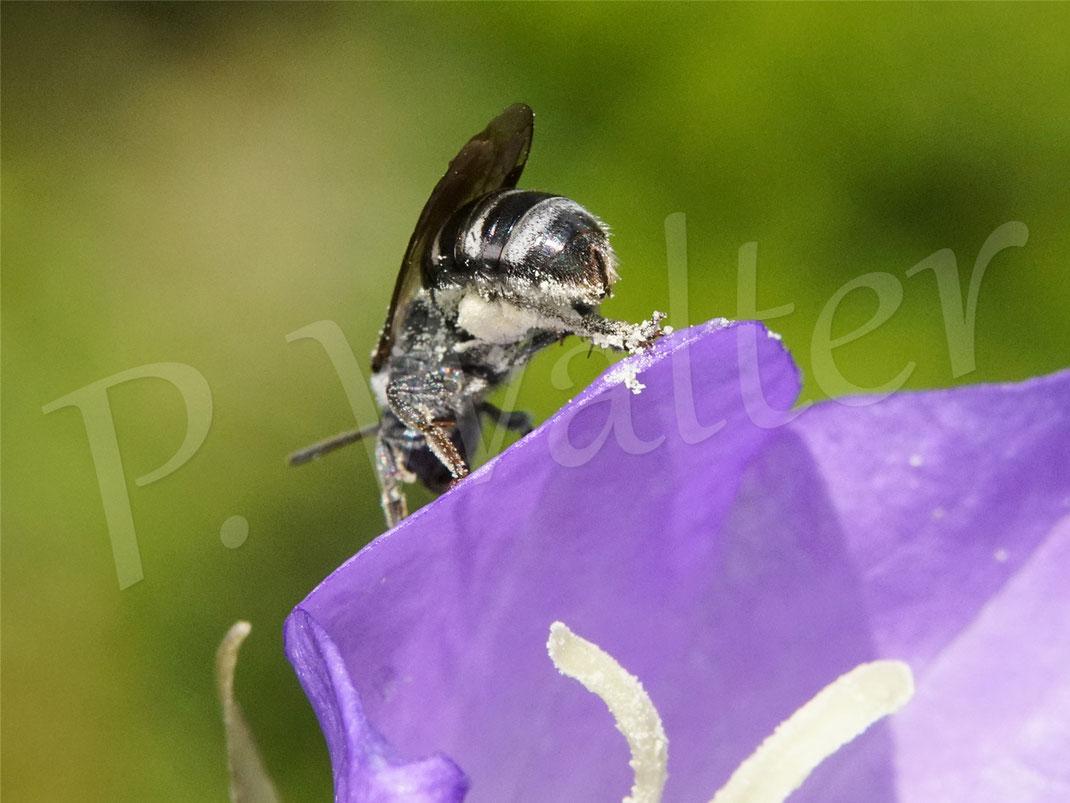 20.06.2021 : eine für unseren Garten neue Art: eine neues Schmalbienen- oder Furchenbienen-Weibchen