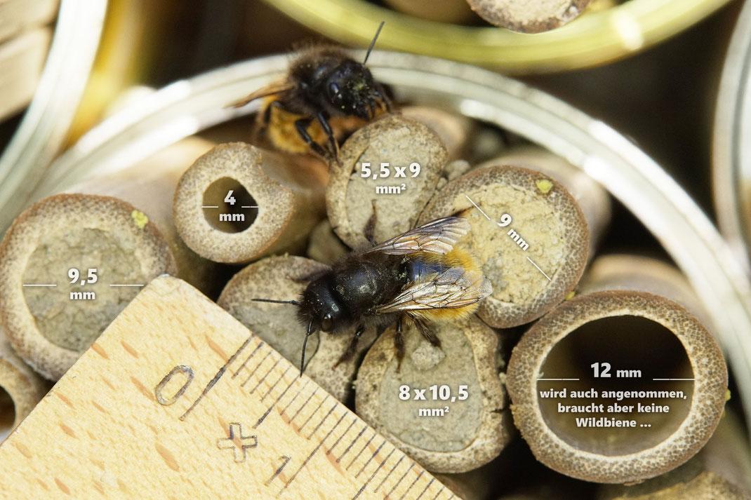 Bild: die idealen Lochdurchmesser für die Gehörnte Mauerbiene, Osmia cornuta, liegen zwischen 8 mm und max. 10 mm (bei den unbeschrifteten Nistverschluss von ca. 5mm war eher eine kleines Rostrotes Mauerbienenweibchen im Gange), Bambusröhrchen