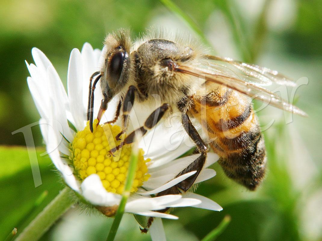 03.09.2017 : im September kommen wieder frische Blüten des Gänseblümchens, hier mit einer Honigbiene