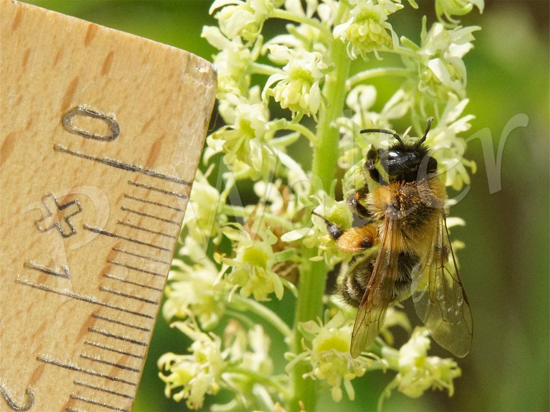Bild: Erzfarbige Düstersandbiene, Andrena nigroaenea, an der Gelben Resede