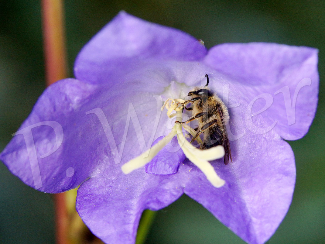 Bild: Glockenblumen-Sägehornbiene, Melitta haemorrhoidalis, Pfirsichblättrige Glockenblume, Blüte, Campanula persicifolia