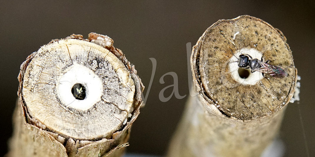 Bild: die markhaltigen Stengel, hier Bauernjasmin, werden gut genutzt, links eine kleine Maskenbiene und rechts eine kleine Grabwespe