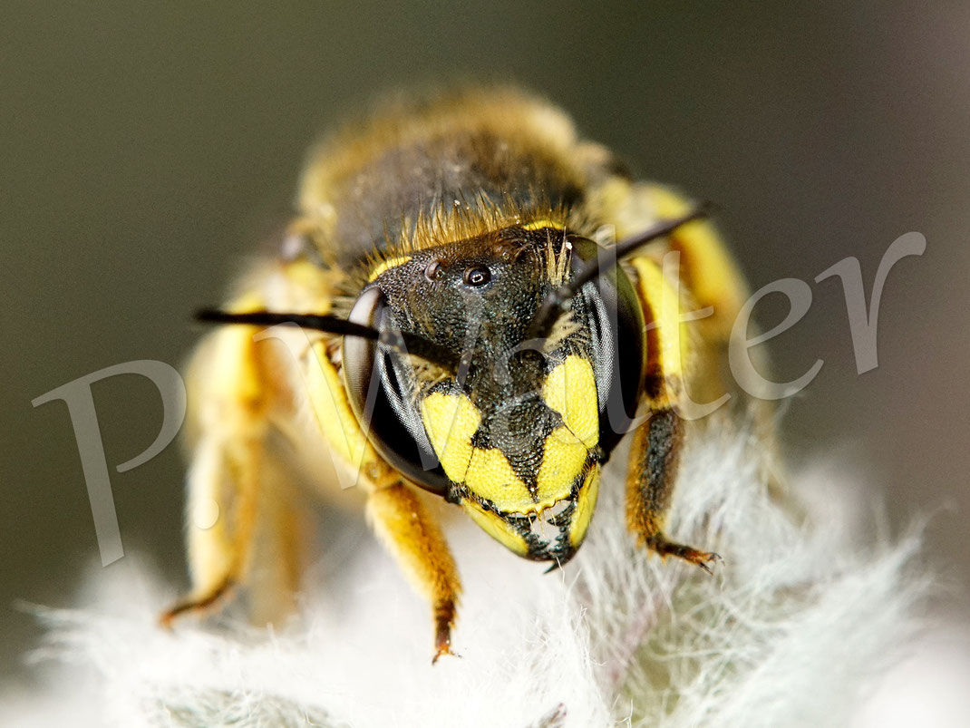Bild: Portrait einer Garten-Wollbiene, Anthidium manicatum, Weibchen am Woll-Ziest
