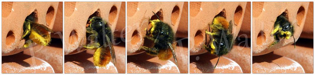 Bild: Weibchen der Gehörnten Mauerbiene beim Polleneintrag in einen Niststein aus Ton, Osmia cornuta