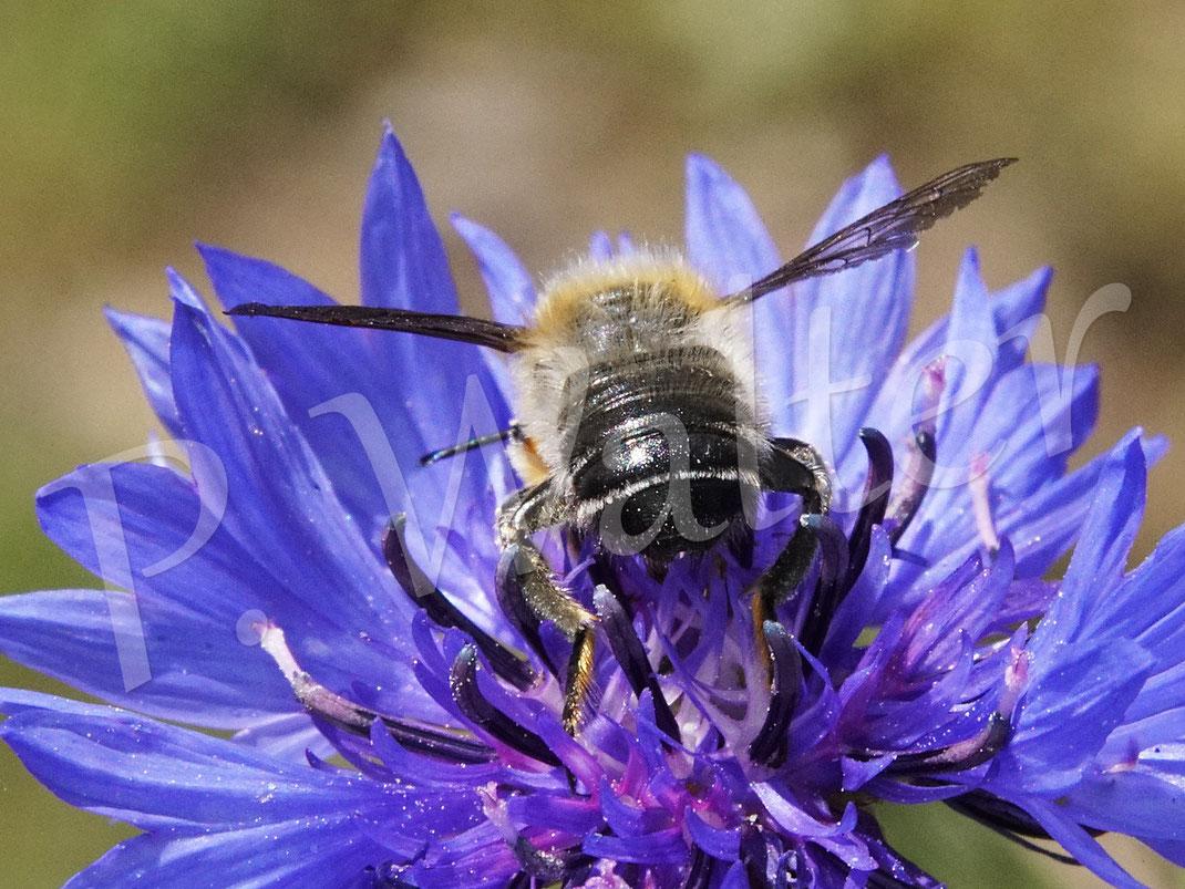 31.05.2020 : die Rückansicht einer männlichen Blattschneiderbiene, Megachile spec., auf der Kornblume