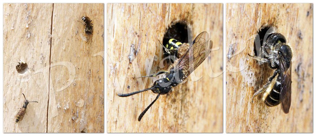 Bild: Hahnenfuß-Scherenbiene, Osmia florisomnis, Nestverschluss, Bohrlöcher, Milben-befallene Keulhornwespe, Eiablage