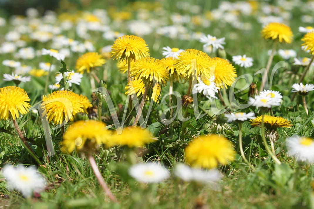 21.04.2018 : Löwenzahn und Gänseblümchen blühen ab April um die Wette