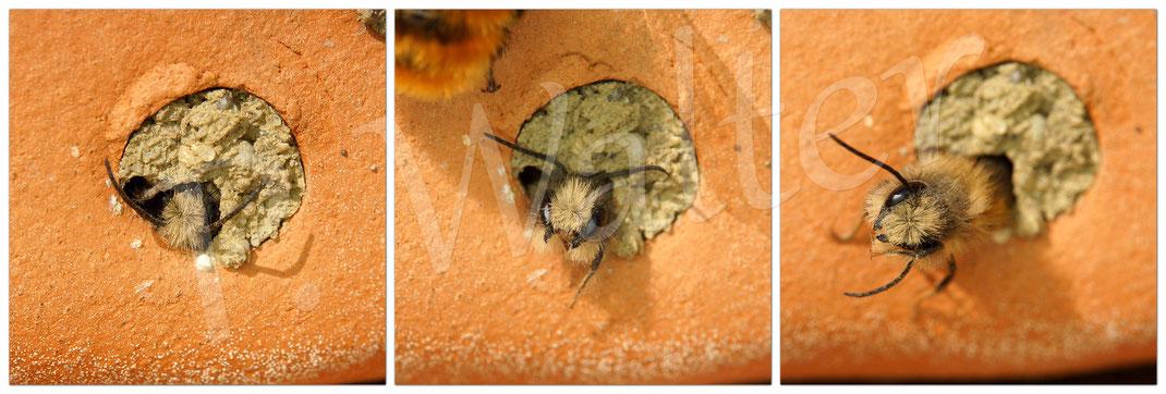 Bild: Schlupf eines Männchen, Rostrote Mauerbiene; osmia bicornis, aus einem Tonstein