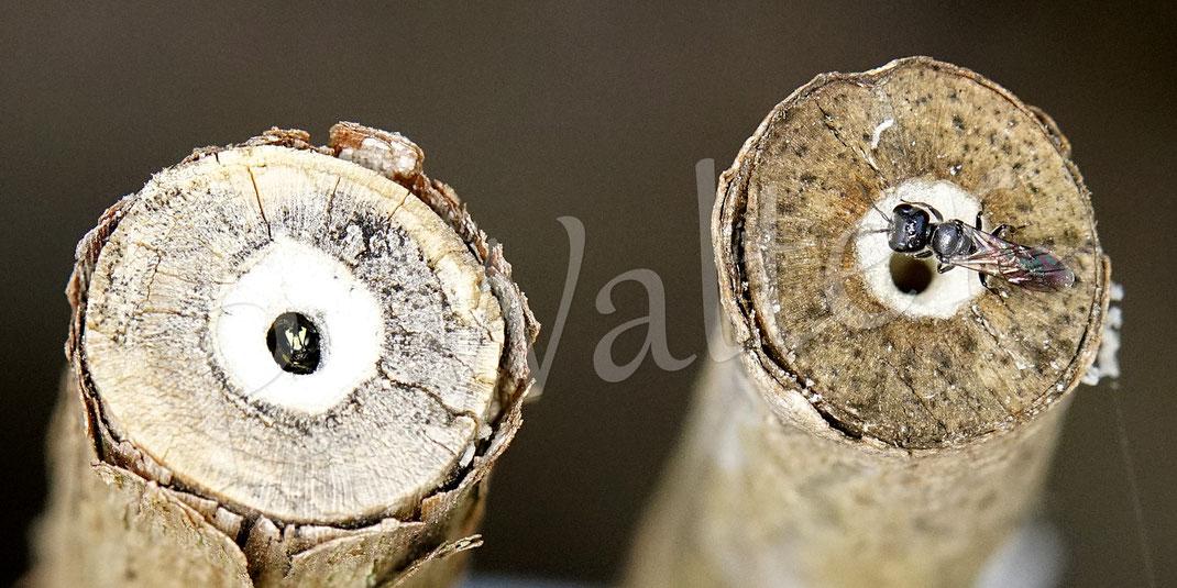 13.08.2020 : links diese kleine Maskenbiene im Mark des Bauernjasminstengels
