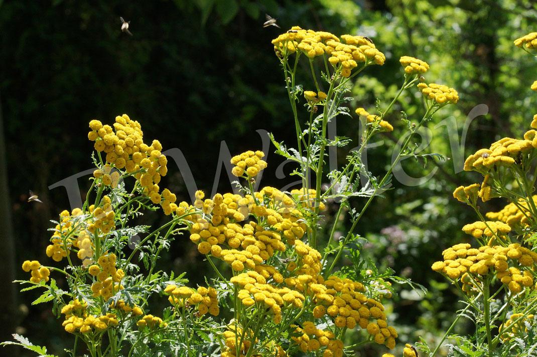 Bild: Rainfarn in voller Blüte, umschwirrt von etlichen Wildbienen