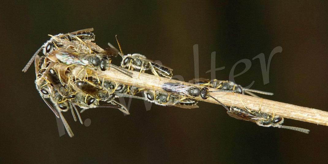 Bild: am freien Tag extra um 6:45 Uhr aufgestanden ! der Schlafhaufen der männlichen Schmalbienen (Lasioglossum) erwacht so langsam ...