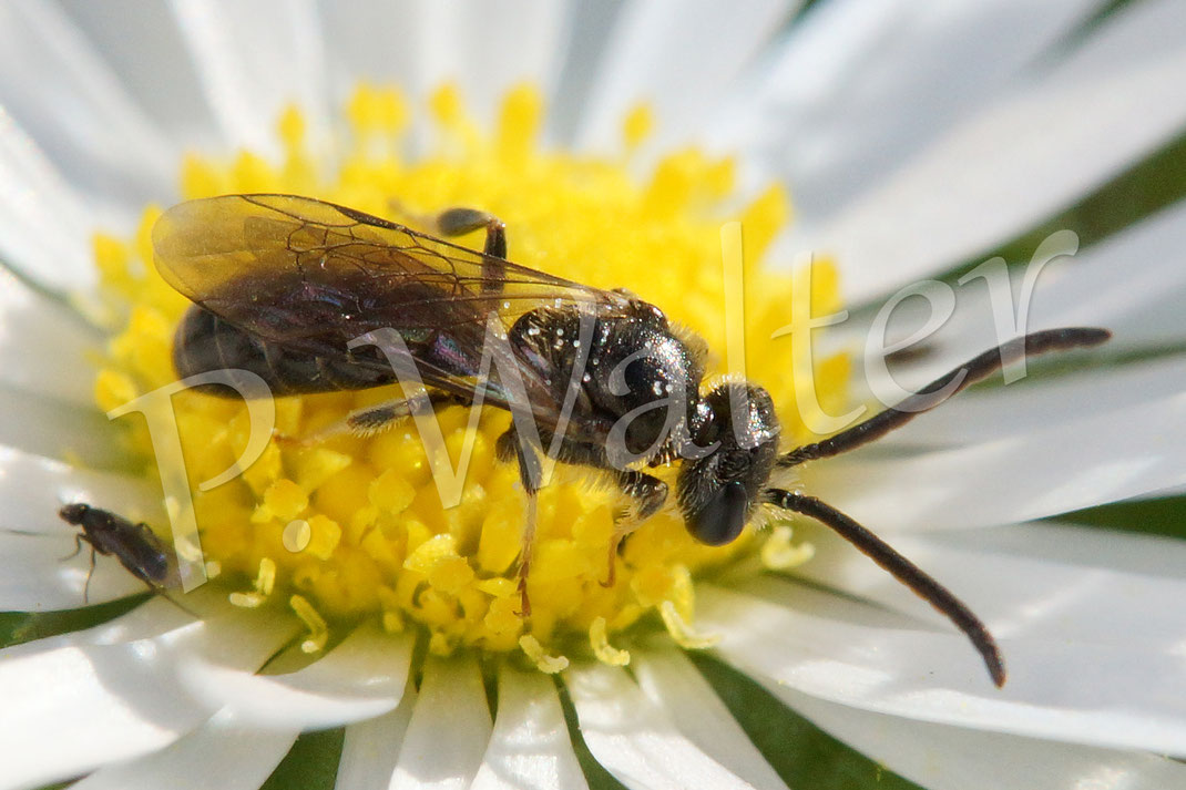 03.10.2015 : selbst im Oktober blüht das Gänseblümchen (wieder), hier mit einer langfühlerigen Wildbiene
