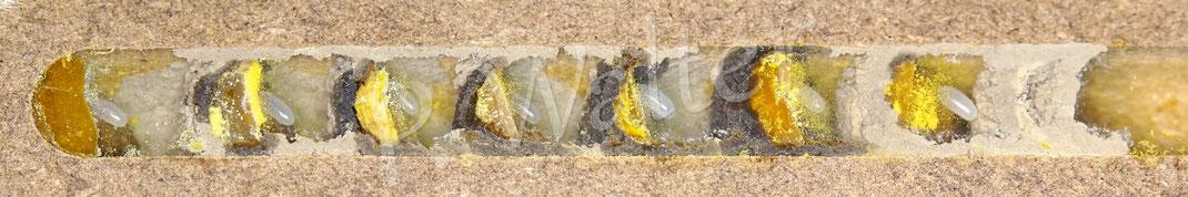Bild: Nistkammern der Gehörnten Mauerbiene, Osmia cornuta
