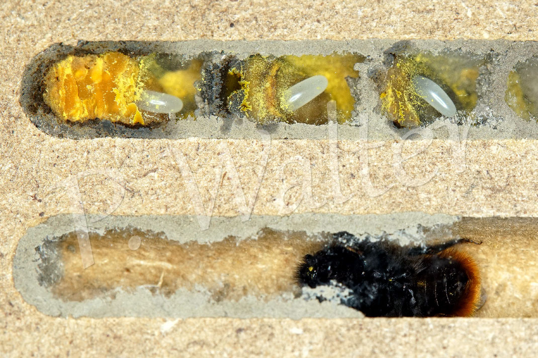 Bild: Beobachtungsnistblock mit 8 mm Gängen, Gehörnte Mauerbiene Weibchen, Osmia cornuta, Nistkammern mit Pollen, Nektar und Eiern