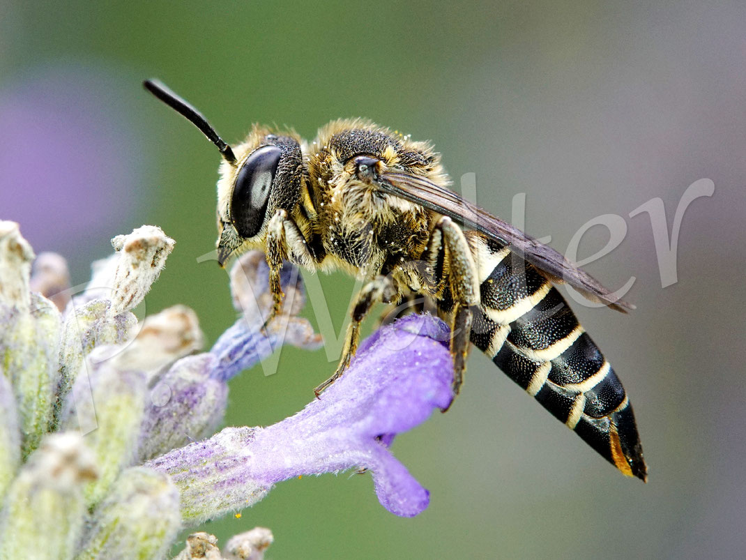 Bild: Goldsaum-Kegelbiene, Gold-Kegelbiene, Coelioxys aurolimbata, Weibchen am Lavendel