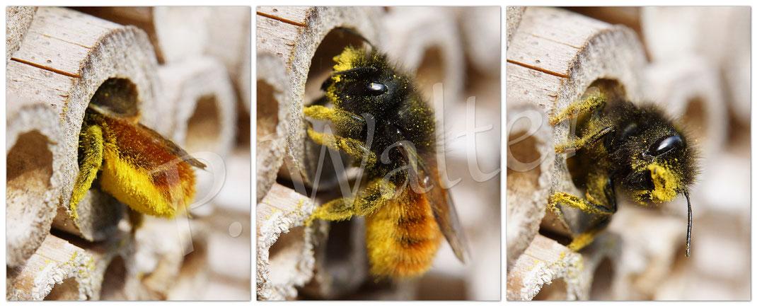 Bild: Gehörnte Mauerbiene, Weibchen, Polleneintrag in Bambusstengel, Osmia cornuta